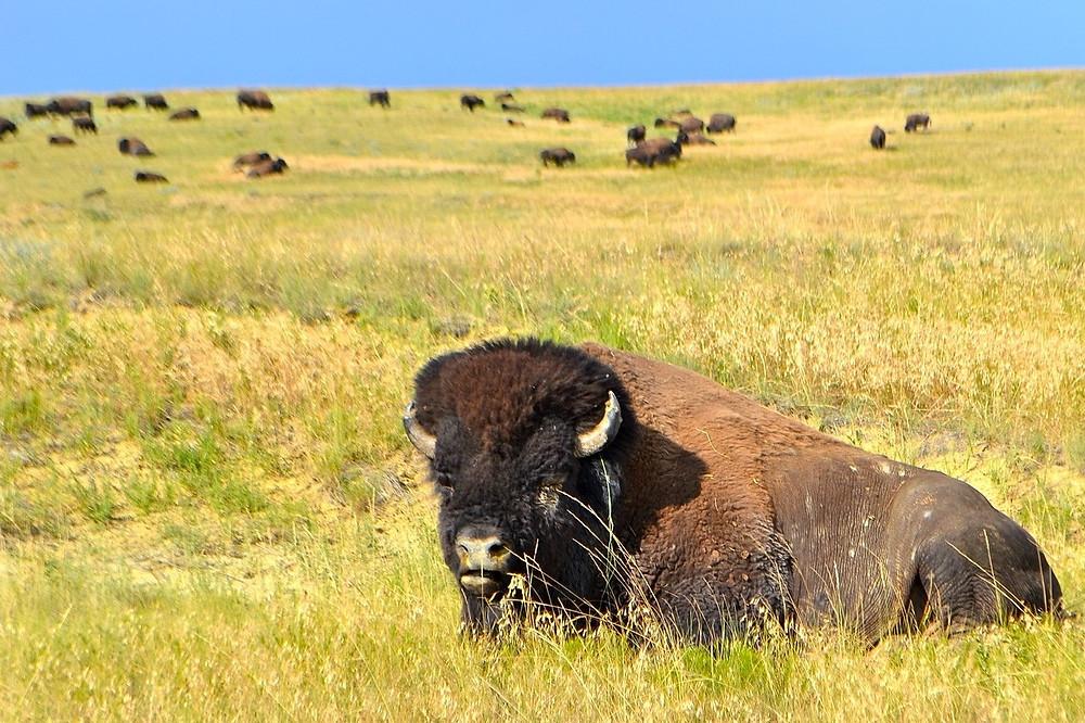 Southern Oregon Bison - Wild Oasis Bison Ranch