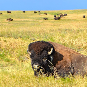 Bison: Healthy for the Environment and Healthy for You