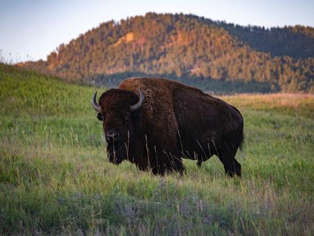 Bison Meat:  Nutrition Profile