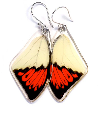 Hebomoia Glaucippe, top wings