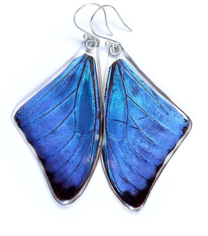 Blue Morpho Adonis, Top Wing