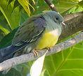 Bruces Green Pigeon.jpg