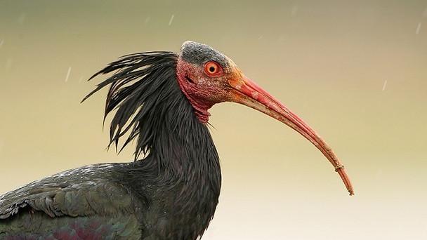 ibis. Bird Watching in Morocco