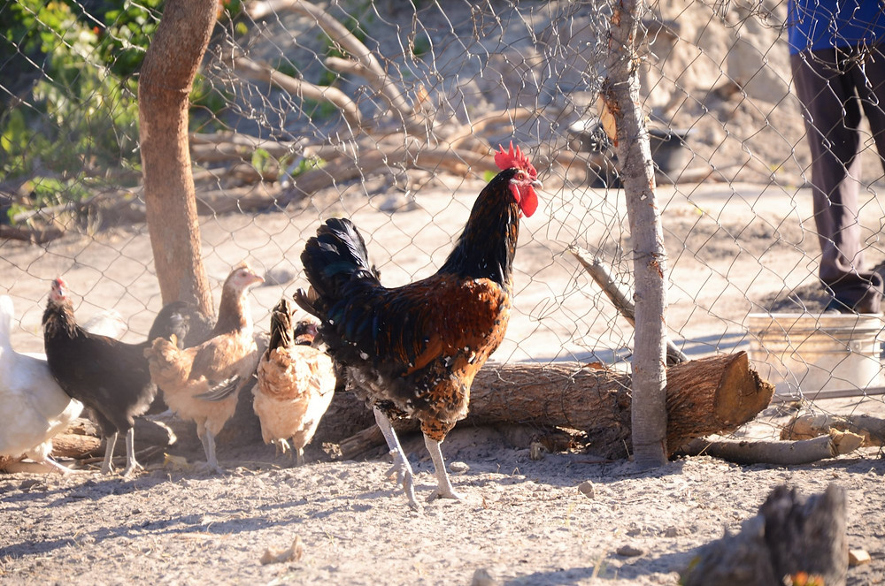 """Uganda woman are taught by ULA how to raise Enkooko eEnyankole, meaning """"Local Chickens"""" in Runyankole language, as an income generating project."""