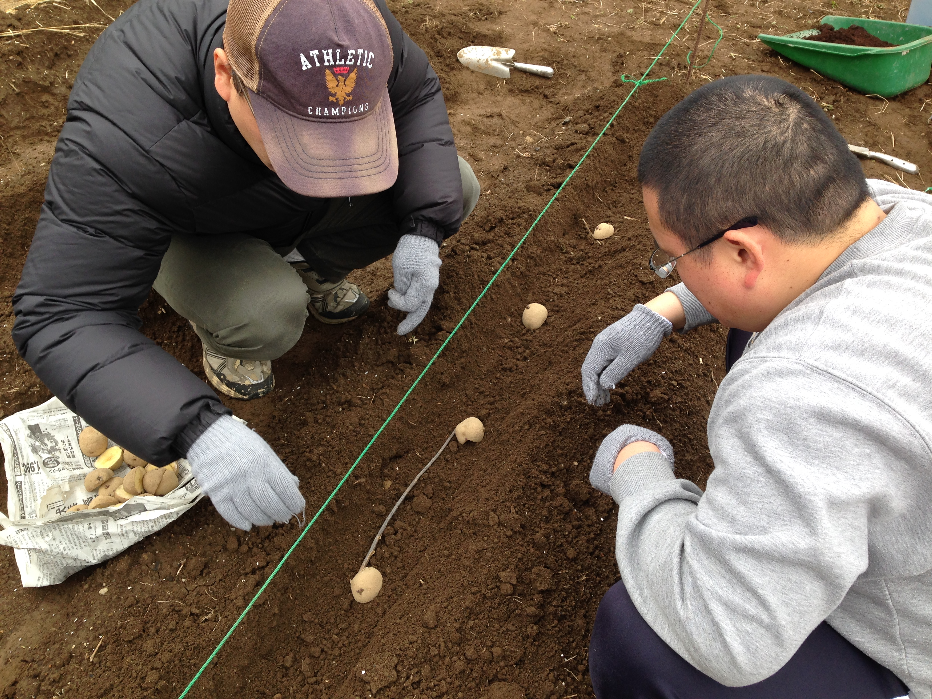 種イモの植え付け