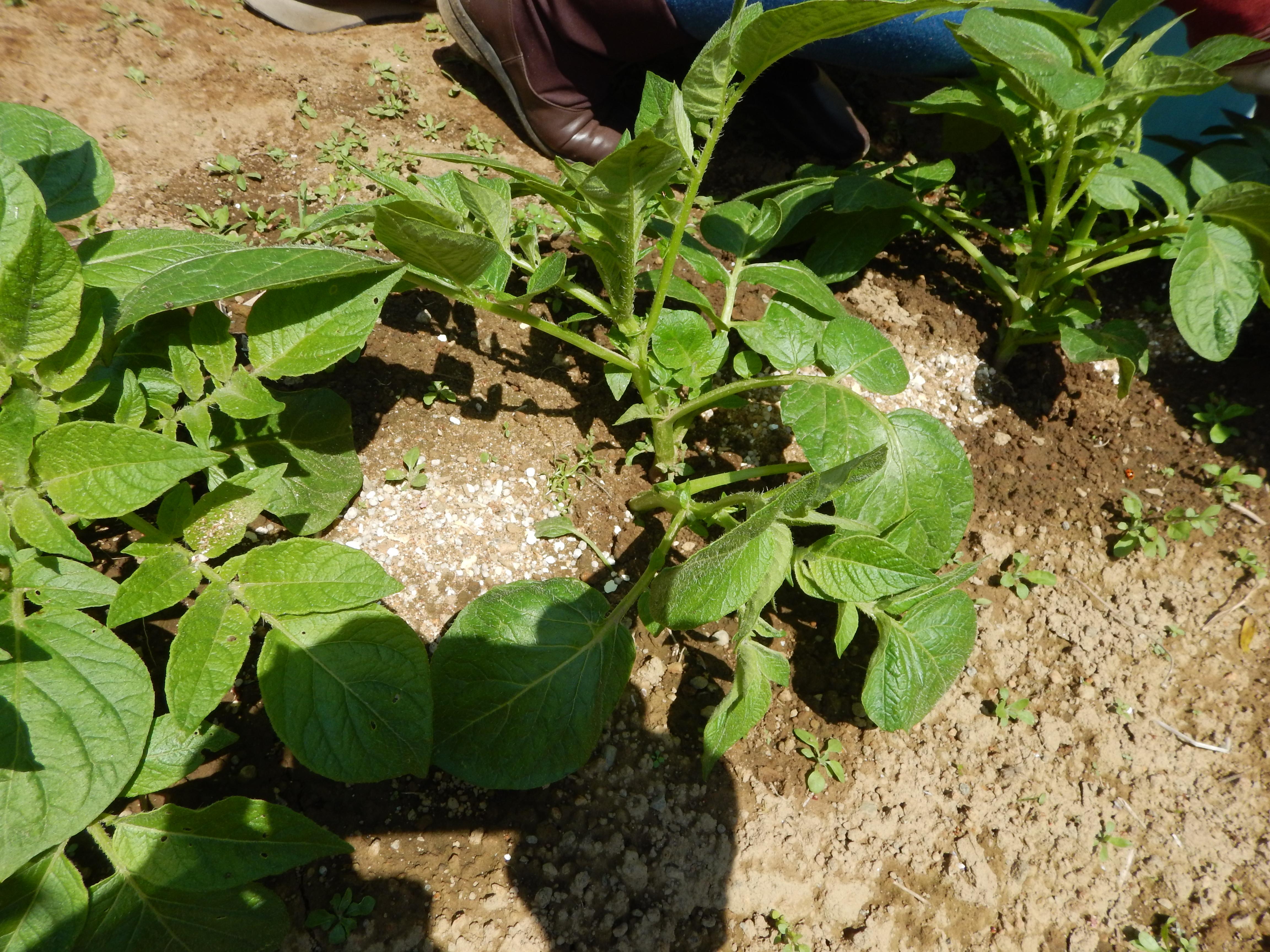 葉っぱを間引いて肥料を与えます