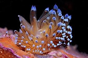 Janolus cristatus.jpg