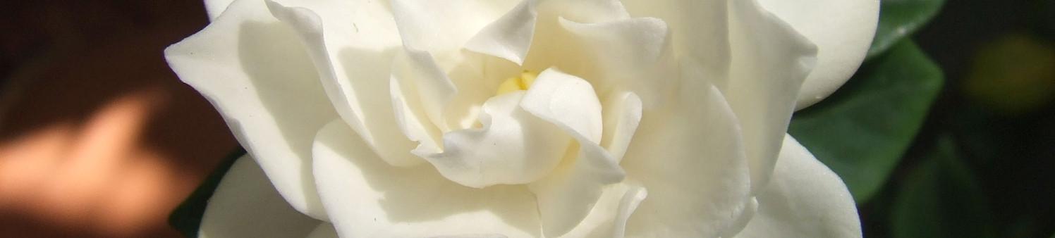 White_Gardenia_flower.jpg