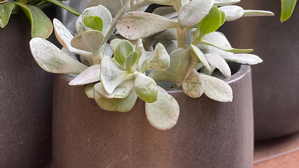 Medium Lightweight Dark Grey Drum with Potted Succulents