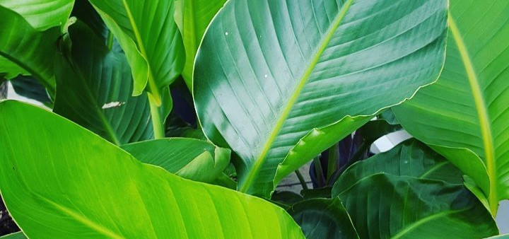 Leaves-of-our-current-Giant-Bird-of-Paradise-plants.jpg