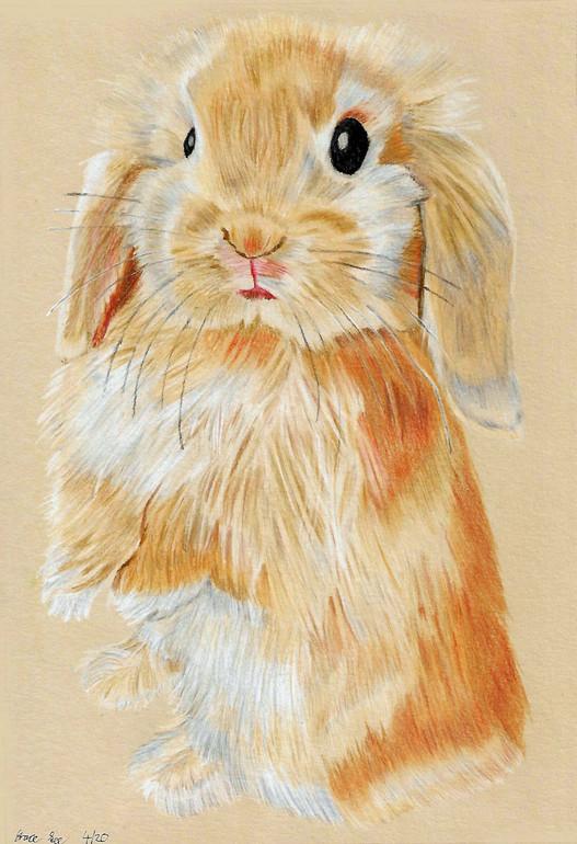 Lop Bunny2.jpg
