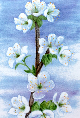 Pam Cuthbert - Wild Cherry Blossom