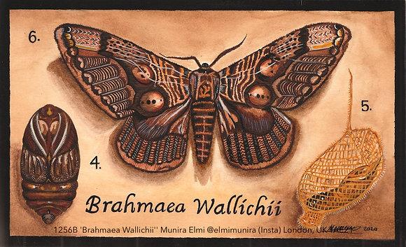 1256B 'Brahmaea Wallichii'' Munira Elmi @elmimunira (Insta) London, UK TAE21