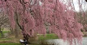 Weeping Cherries - Three Trees in One