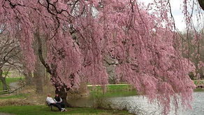 Weeping Cherries - Three Trees in One