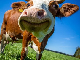 Are methane emissions from cows a big deal?