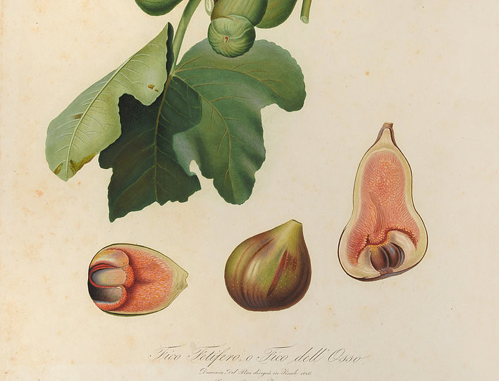 Giorgio Gallesio (1772-1839), Fico Fetifero o Fico dell'Osso, in Pomona italiana (1817-1839).