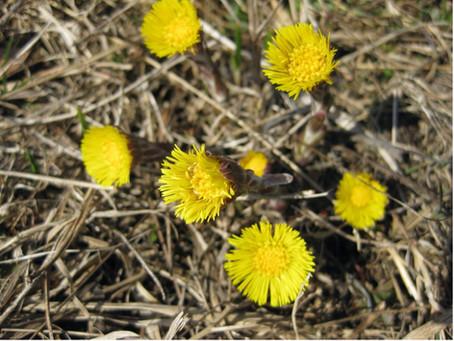 Huflattich - Frühlingspflanzen am Wegrand