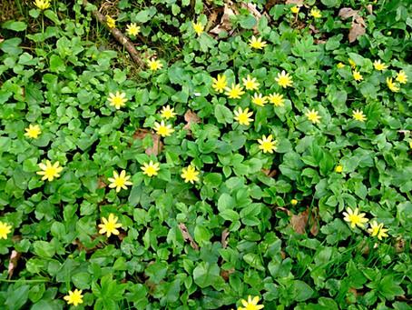 Scharbockskraut – Frühlingspflanzen am Wegrand