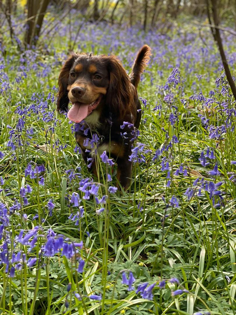 Alfie in the Bluebells