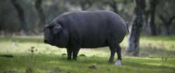 Cerdos Ibericos2