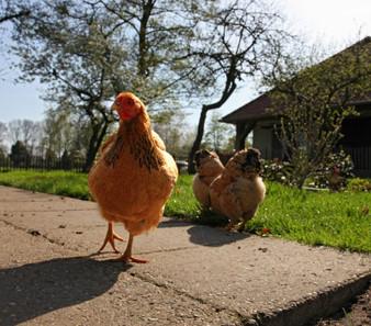 Zelf kippen voeren