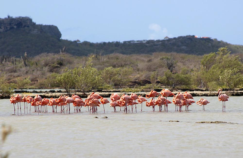 Flamingos, St. Willibrordus Curacao