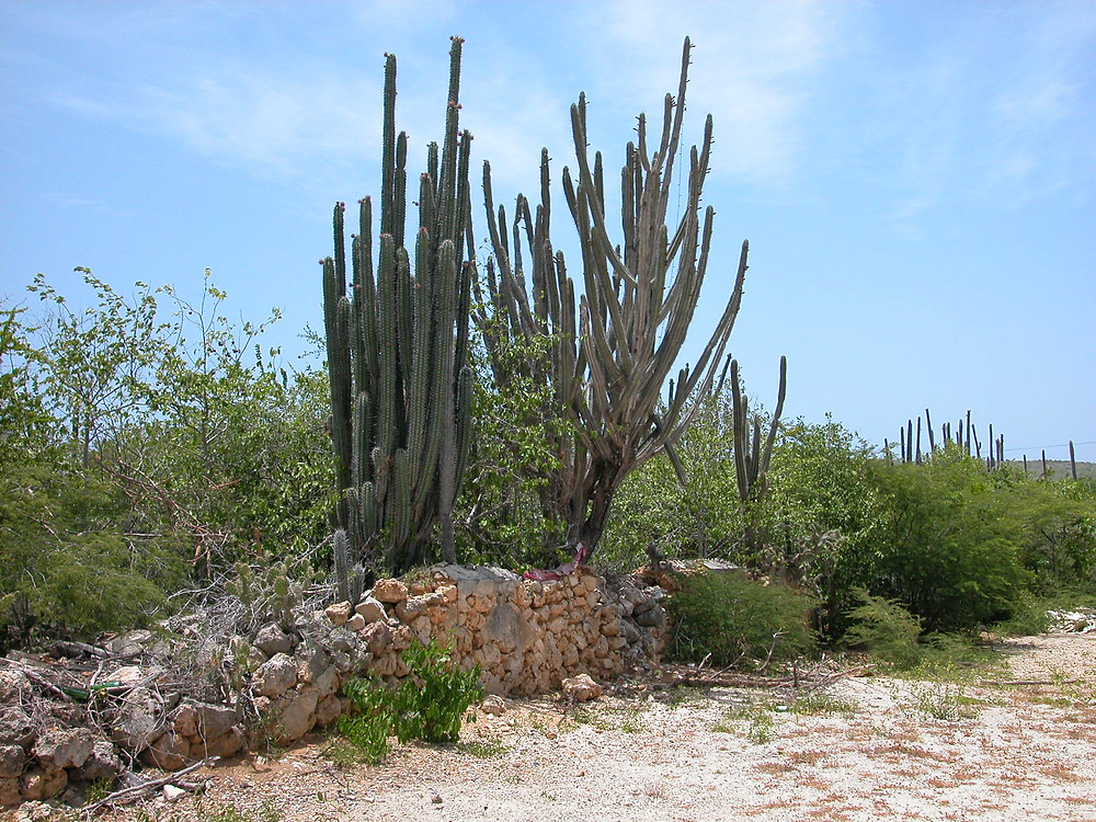 Cactus Curacao