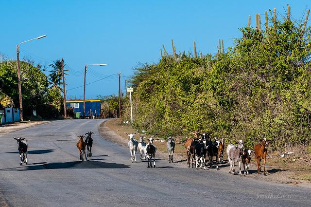 goat Curacao