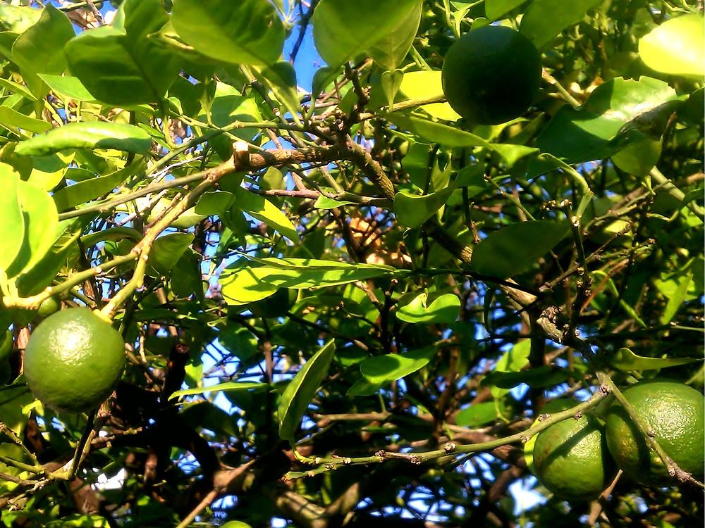 Alara fruit