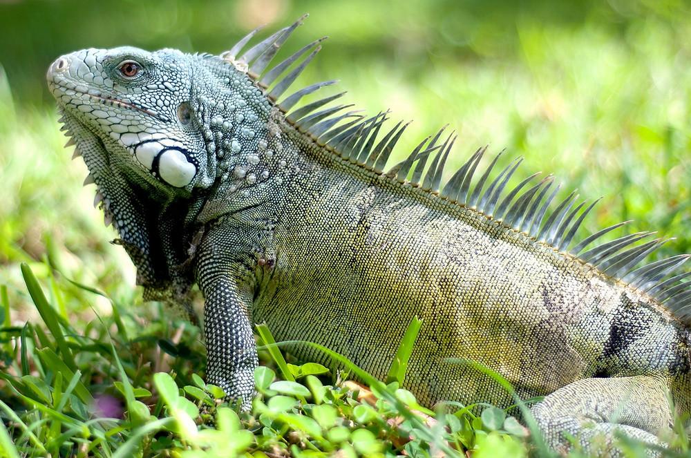Iguana Curacao