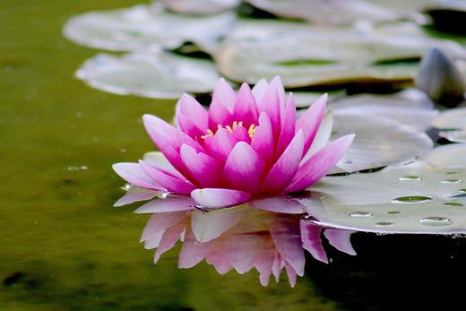 aquatic-beautiful-bloom-539694.jpg