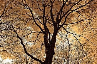 Baum Lymph.jpg