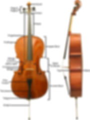 cello anatomy.jpg