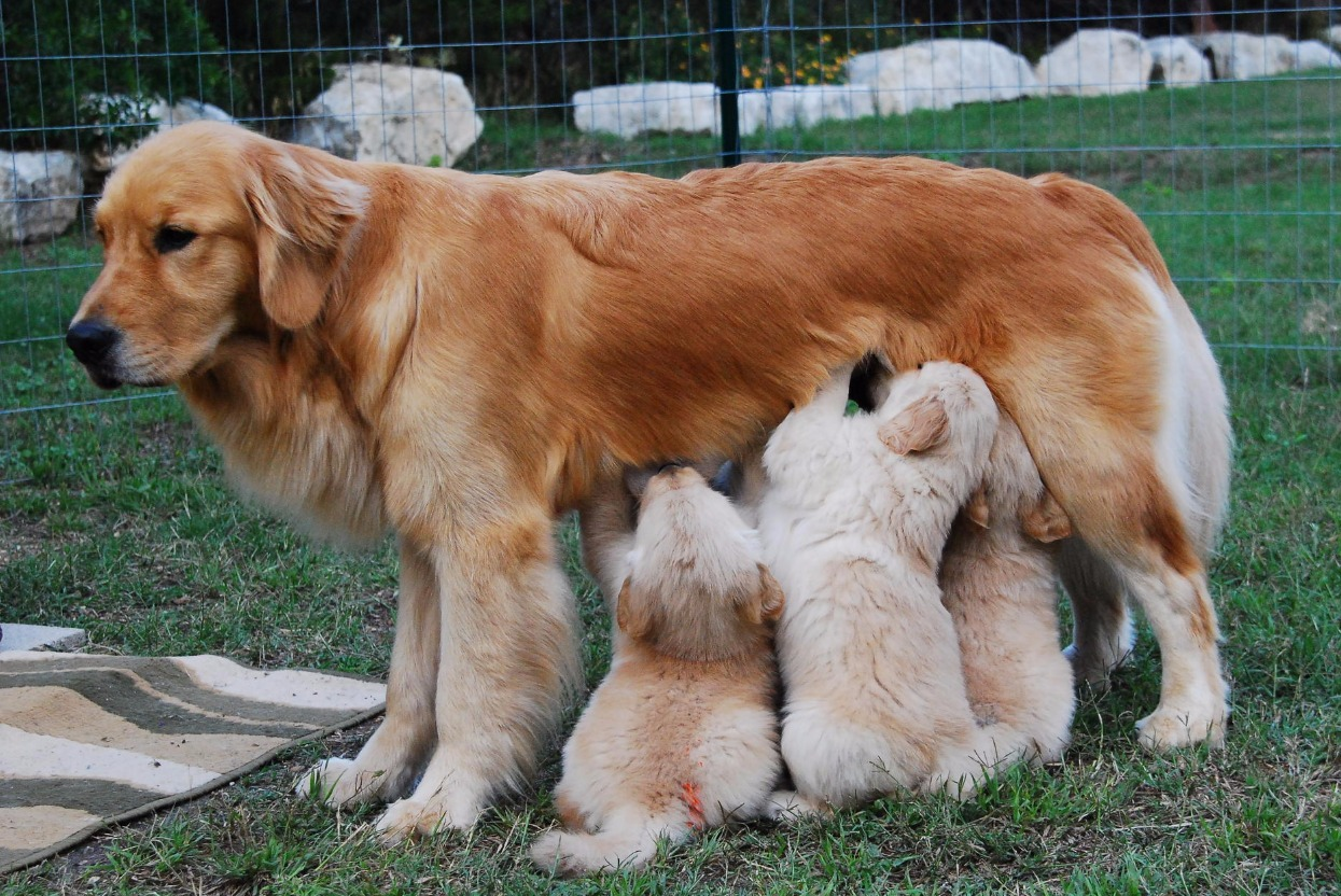 Pure Bred Golden Retrievers