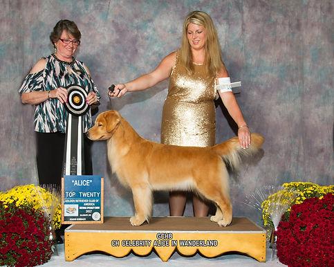 Celebrity Golden Retriever, Pure Bred