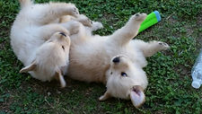Golden Retrievers of Austin Texas
