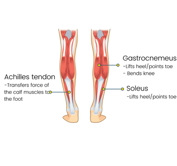 Calf Muscles 101: What You Need to Know