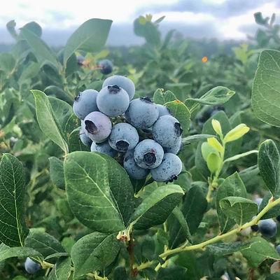 bennett-orchards-blueberries-2021.jpg