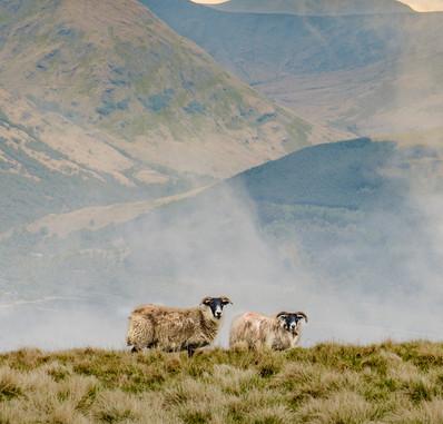Sheep on Ben Lomond