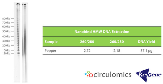 HMW DNA from Pepper Extracted with Nanobind