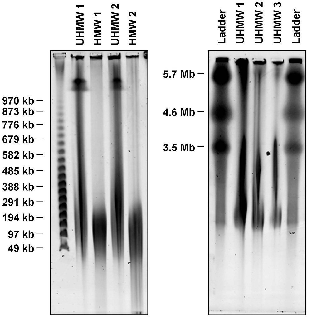 Nanobind High MW and Ultra High MW DNA Extraction