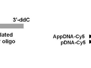 Adenylated Adapters for RNA Ligation
