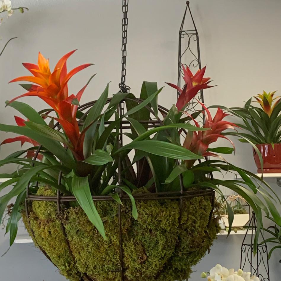 Bromeliad Arrangement in Hanging Globe