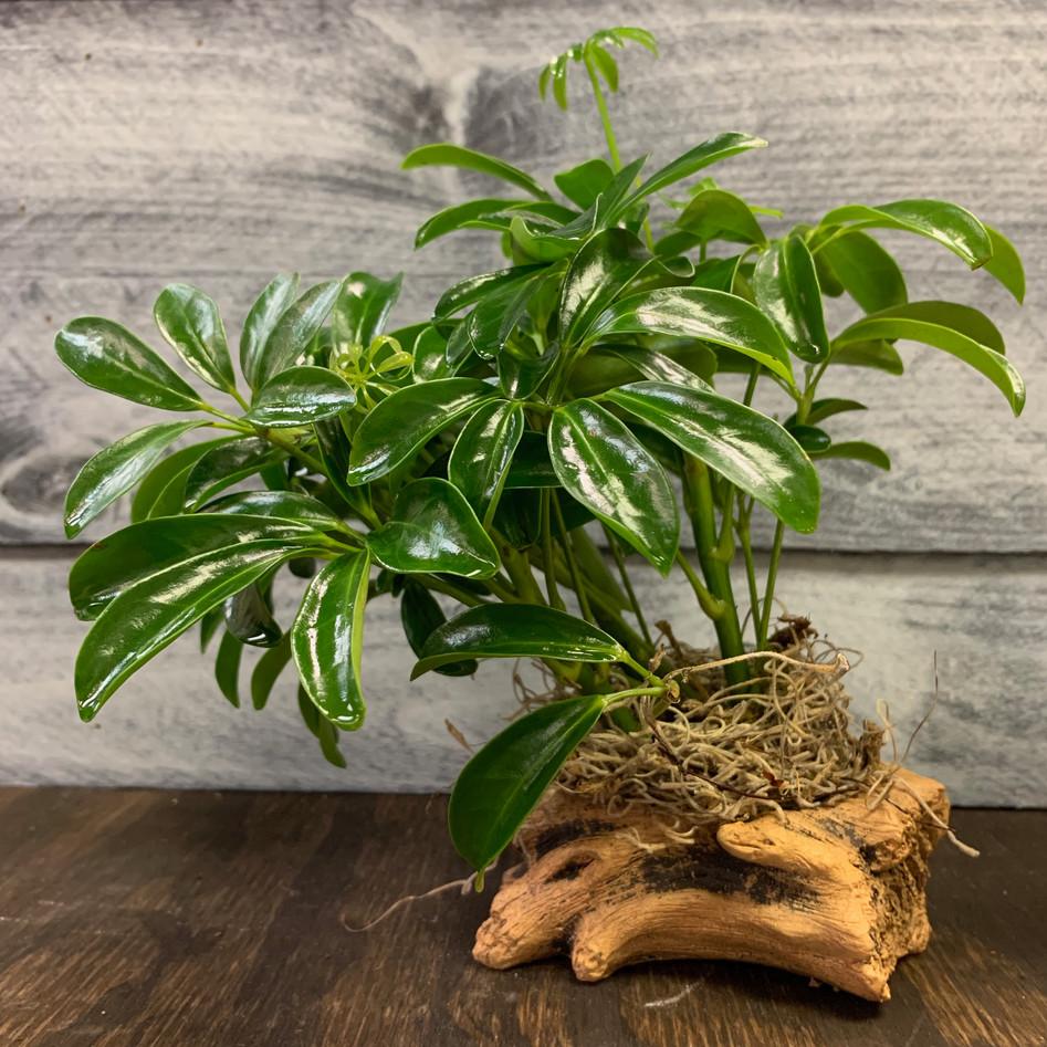 Arboricola - Dwarf Umbrella Plant