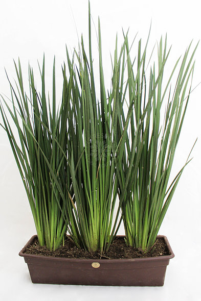 Planta Lirios