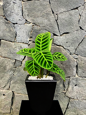 Planta Cebra
