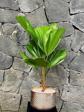 Planta licuala