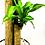 Thumbnail: Planta palo de brasil