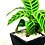 Thumbnail: Planta Cebra
